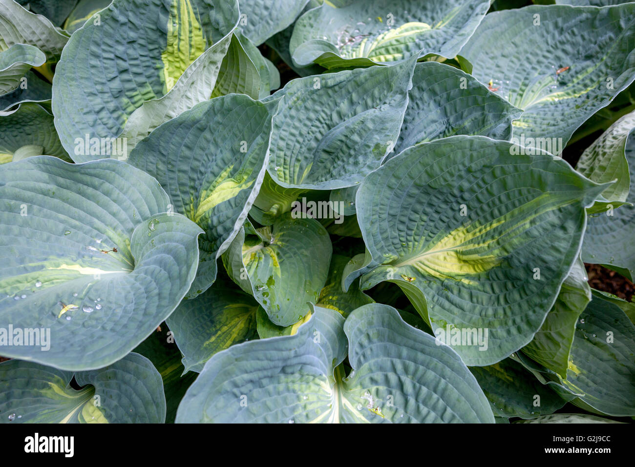 Hostas 'Great expectations' big leaves - Stock Image