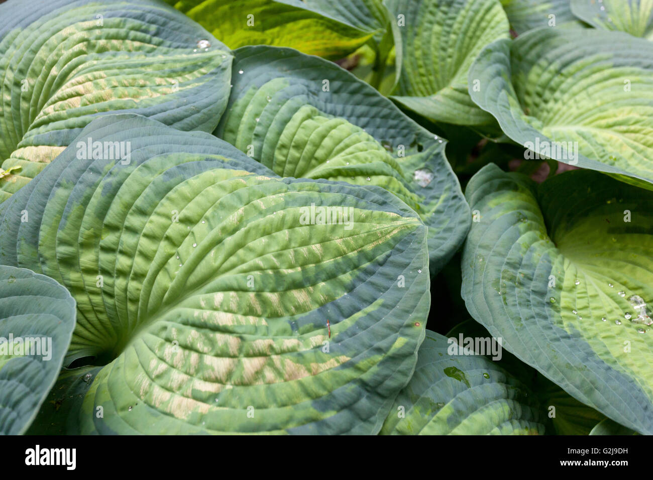 Hostas 'Color Glory', big leaves - Stock Image