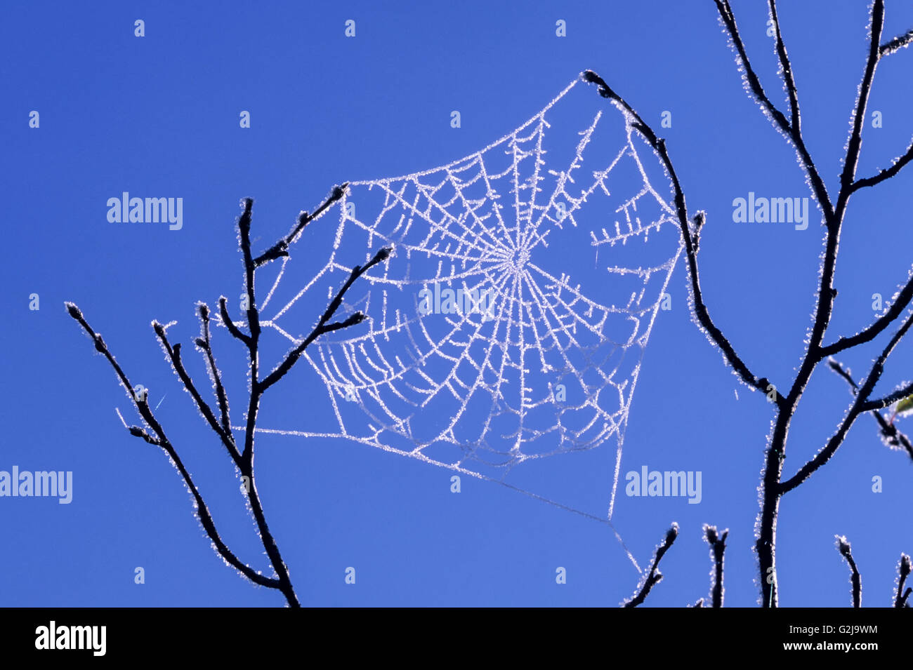 Frosty orb web, Whitefish, Ontario, Canada - Stock Image