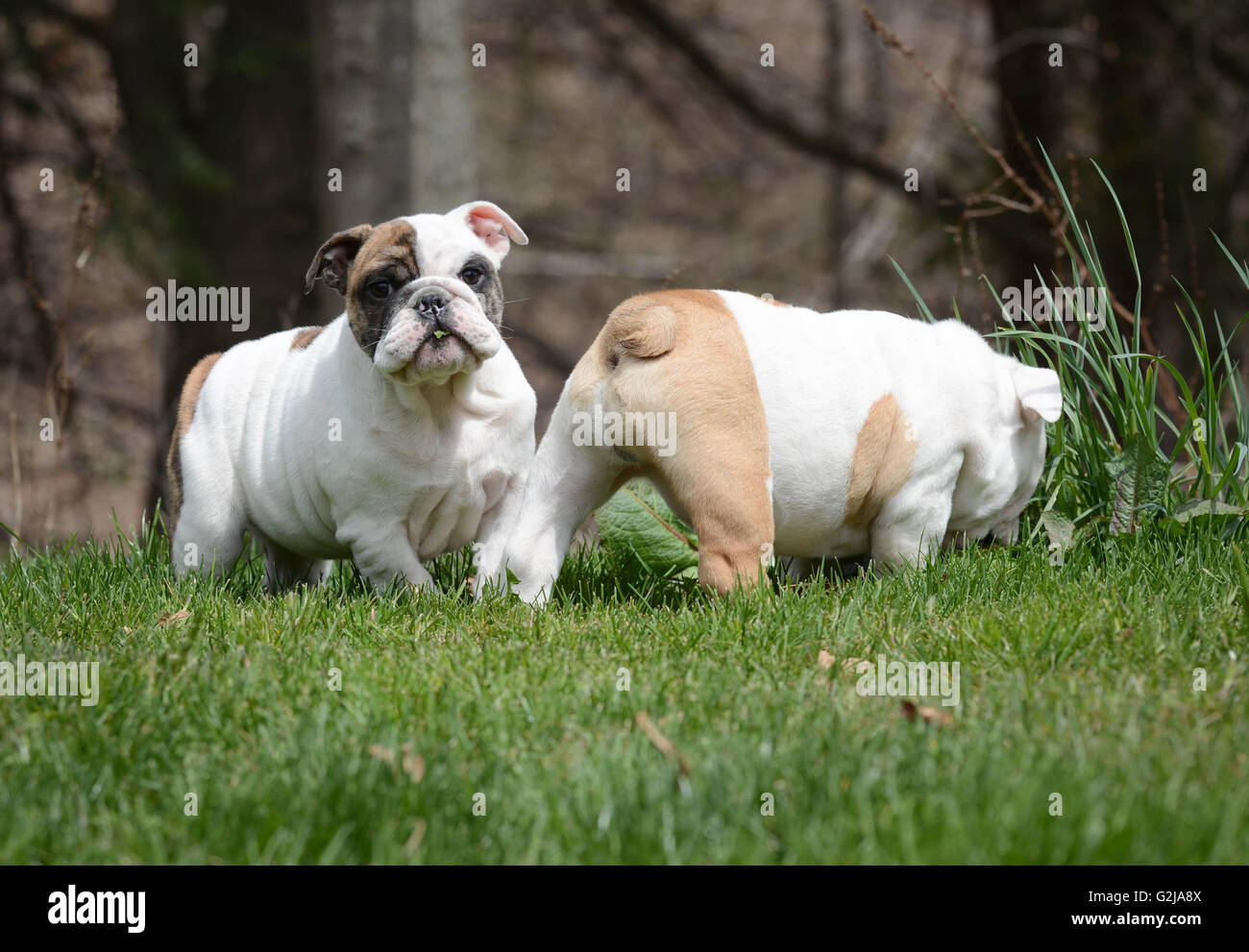 two english bulldog puppies playing outside in the grass - Stock Image
