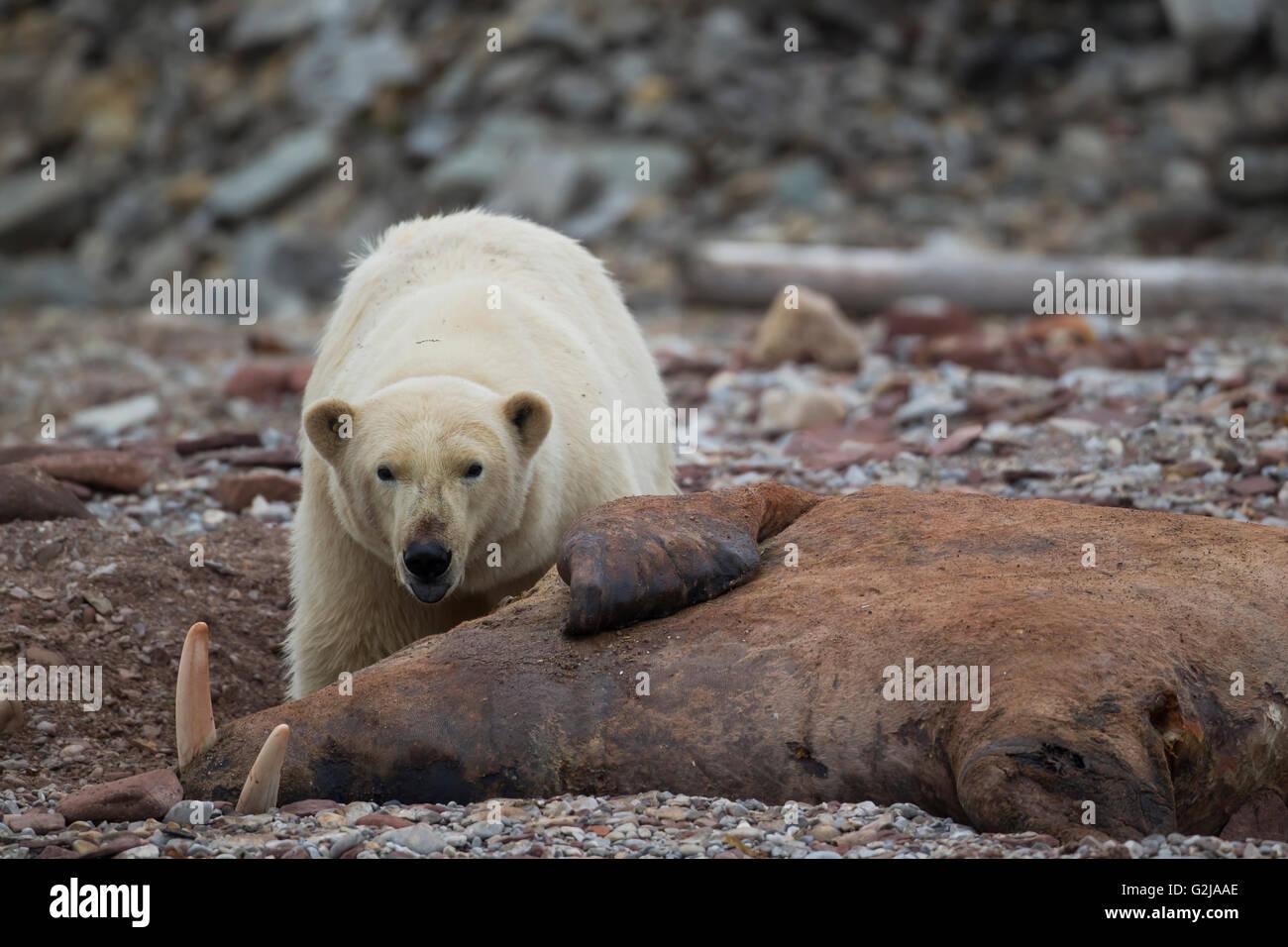 Polar bear, Ursus maritimus, Eats a walrus, Svalbard, Norway - Stock Image