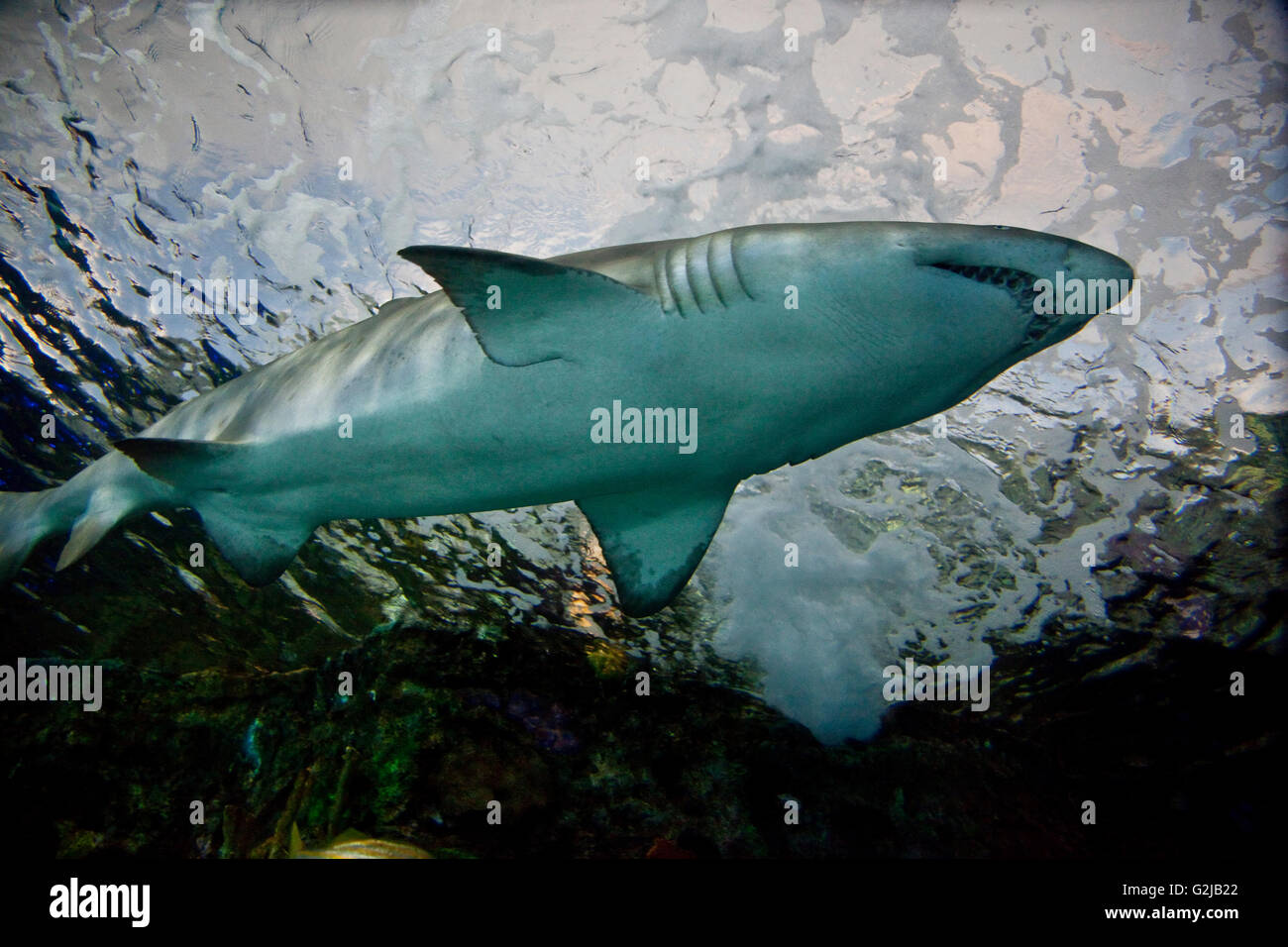 Shark swims by in Dangerous Lagoon at Riply's Aqarium of Canada at base of CN Tower, Toronto, Canada. - Stock Image