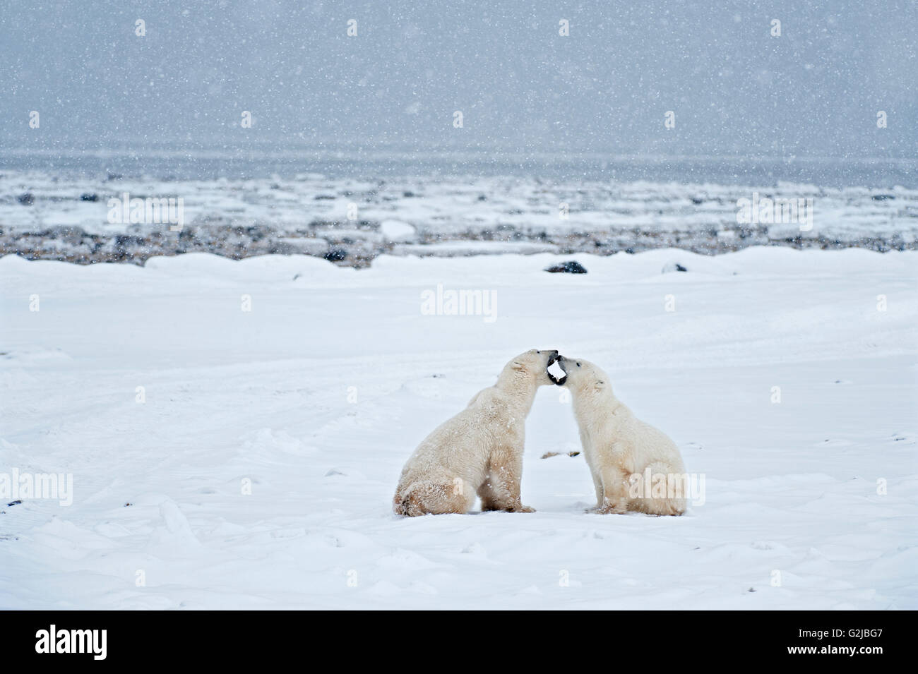 Polar bears sparring Ursus maritimus on frozen tundra, Churchill, Manitoba, Canada - Stock Image