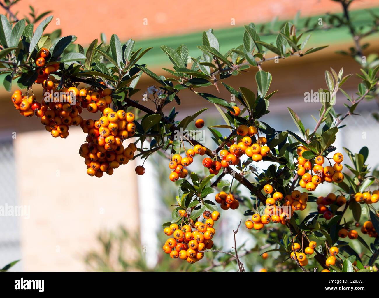Orange Berries Garden Plant Stock Photos Orange Berries Garden