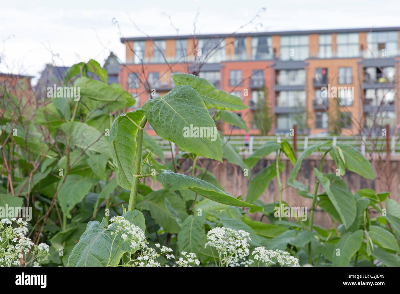 Japanese knotweed (Fallopia japonica) growing in a urban location, England, UK - Stock Image