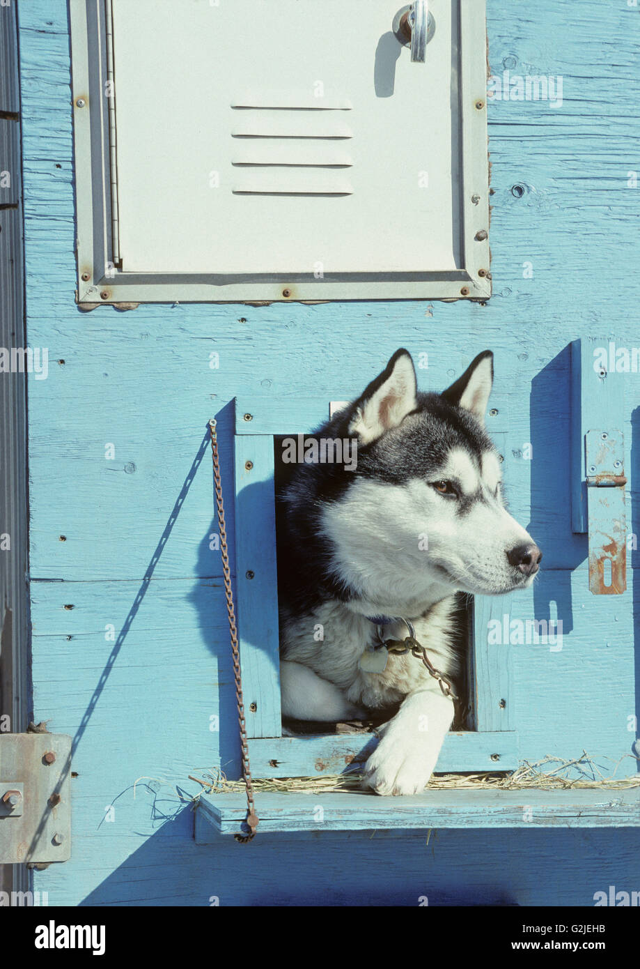 Siberian Husky (Canis lupus familiaris) looking out from it's house, Central Ontario, Canada - Stock Image