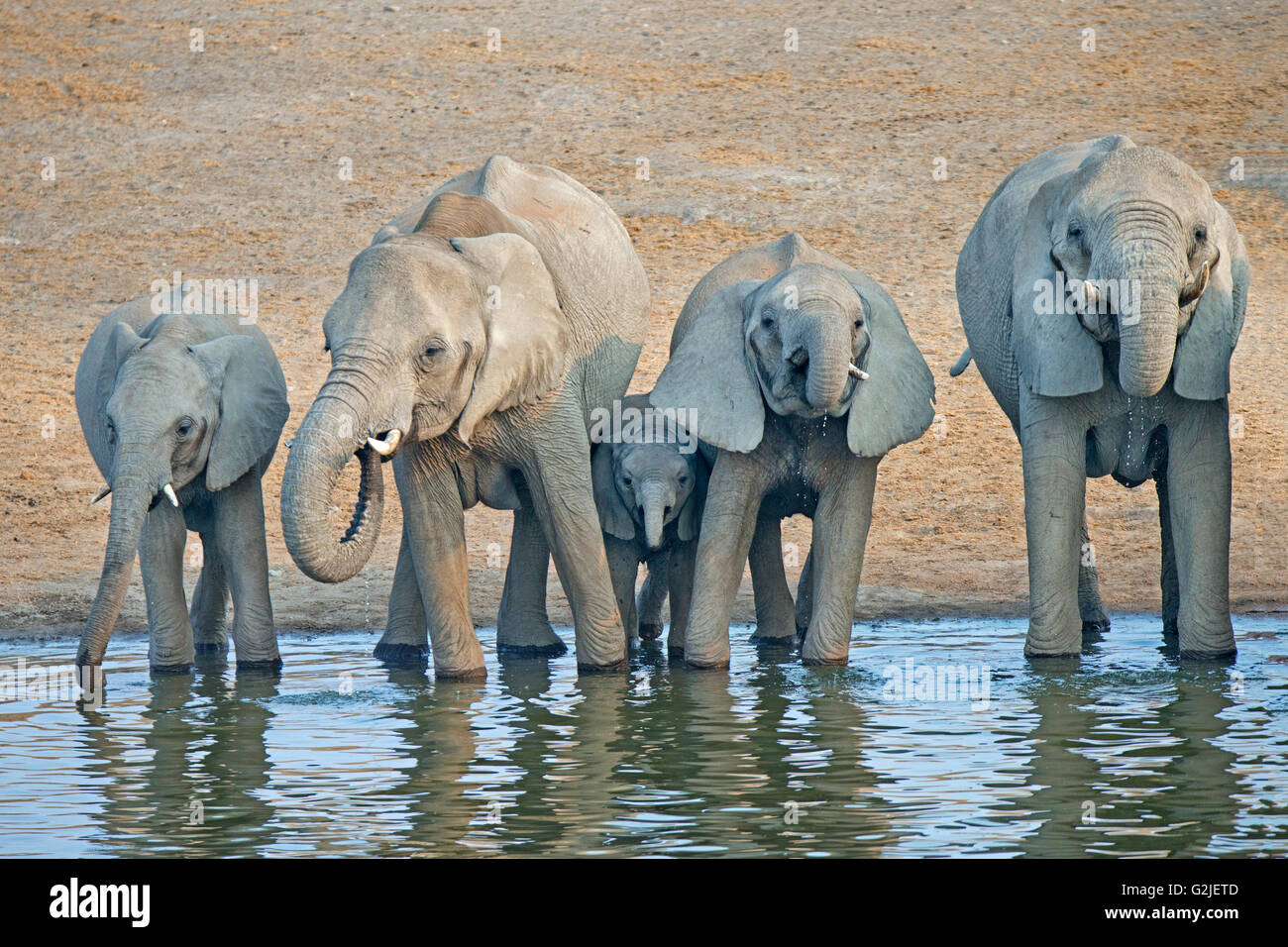 African elephant (Loxodonta africana) family coming to a waterhole to drink, Etosha National Park, Namibia, southern Africa Stock Photo