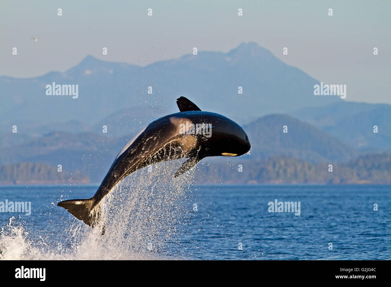 Transient killer whales (orca Orcinus orca T30's & T137's) after killing a sea lion off Malcolm Island - Stock Image