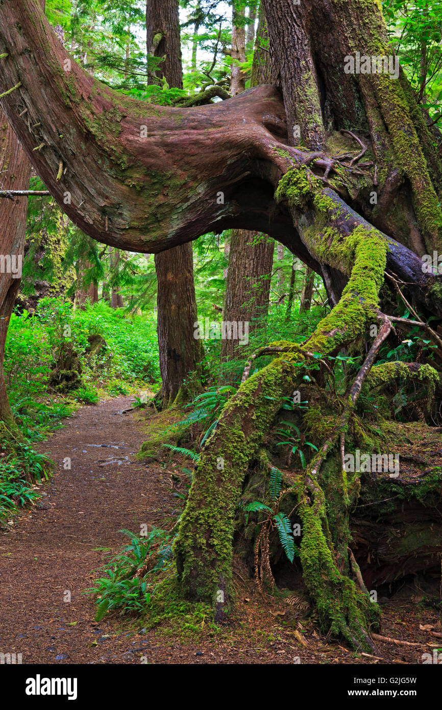 Moss covered tree root along trail San Josef Bay in Cape Scott Provincial Park Northern Vancouver Island Vancouver - Stock Image