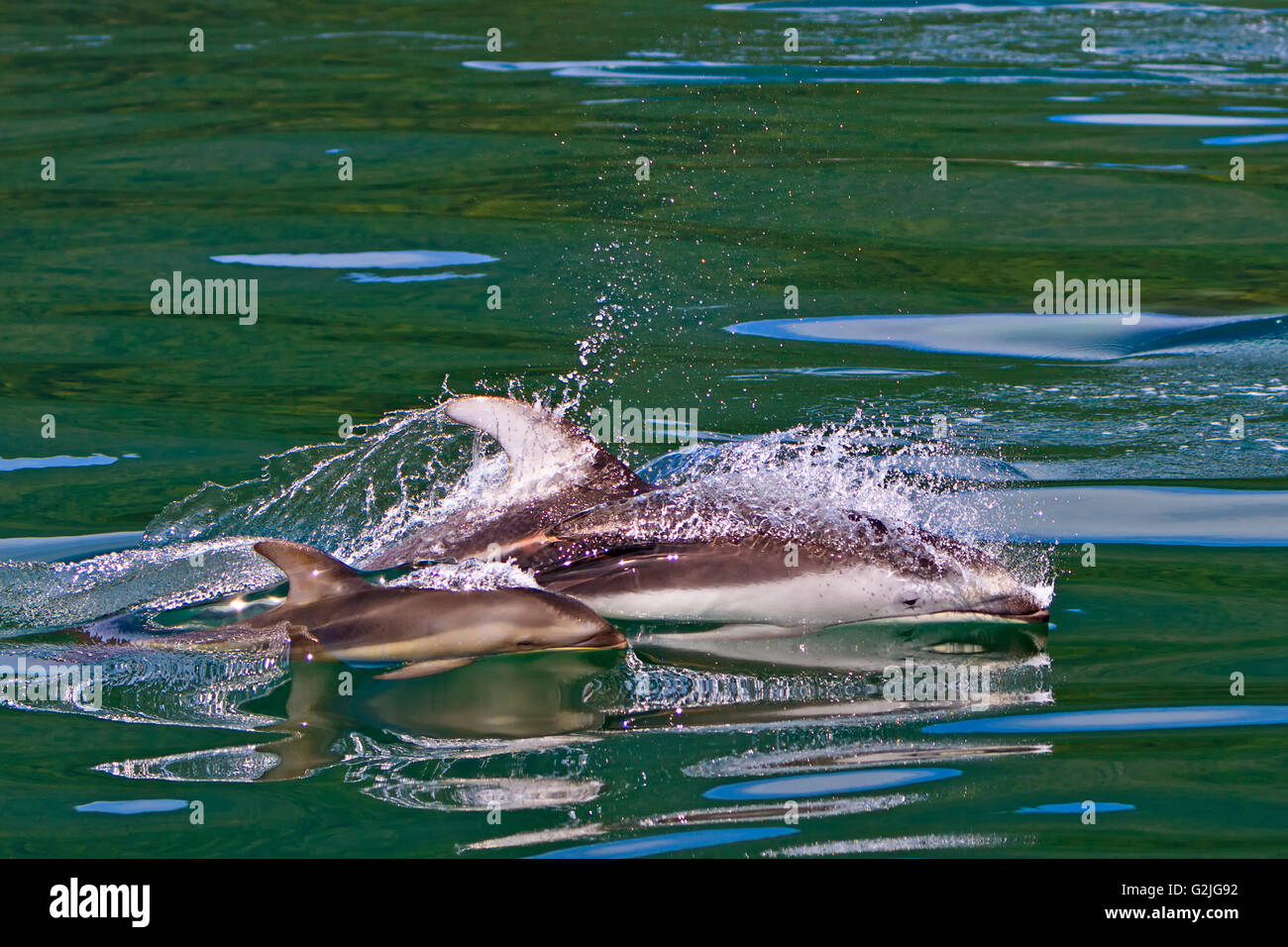 Wild Pacific White Sided Dolphins mother baby travelling high speed in waters of Knight Inlet British Columbia Canada. - Stock Image