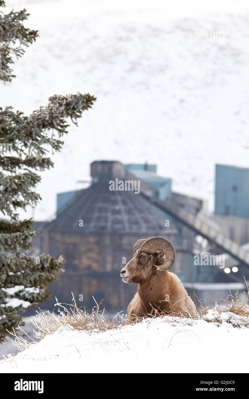 Bighorn Sheep, ovis canadensis, Beside a mining operation in rural Alberta, Canada - Stock Image