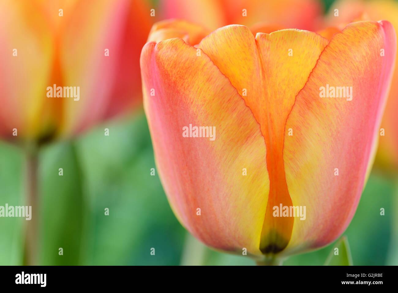 Tulipa  'Apeldoorn's Elite'  Tulip  Darwin Hybrid Group  April - Stock Image