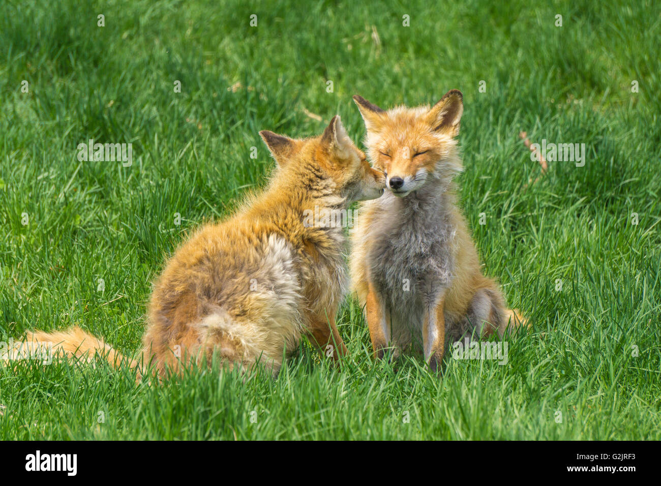 Friendly Foxes - Stock Image