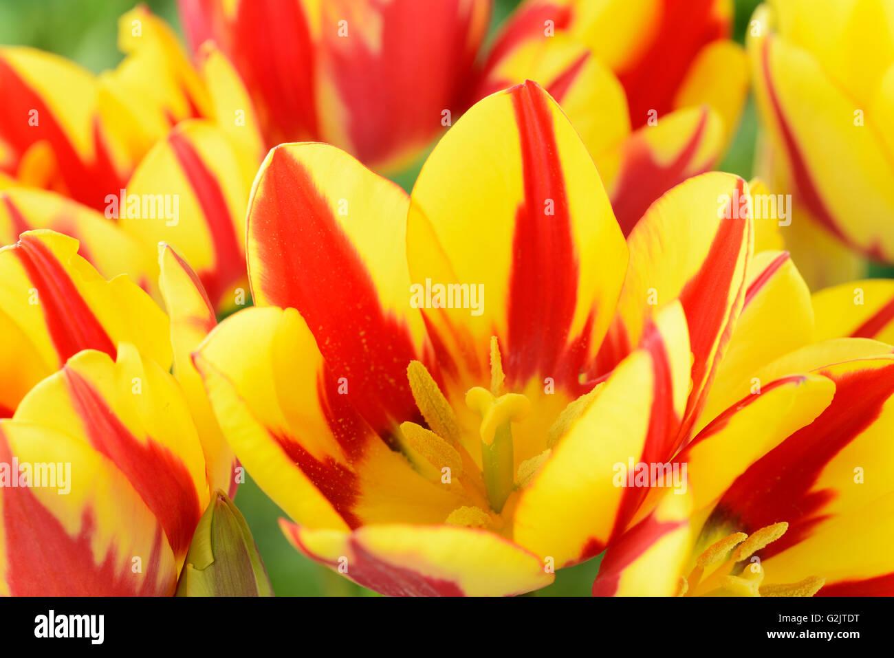 Tulipa  'Colour Spectacle'  Multi-flowered tulip  Single Late Group  April - Stock Image