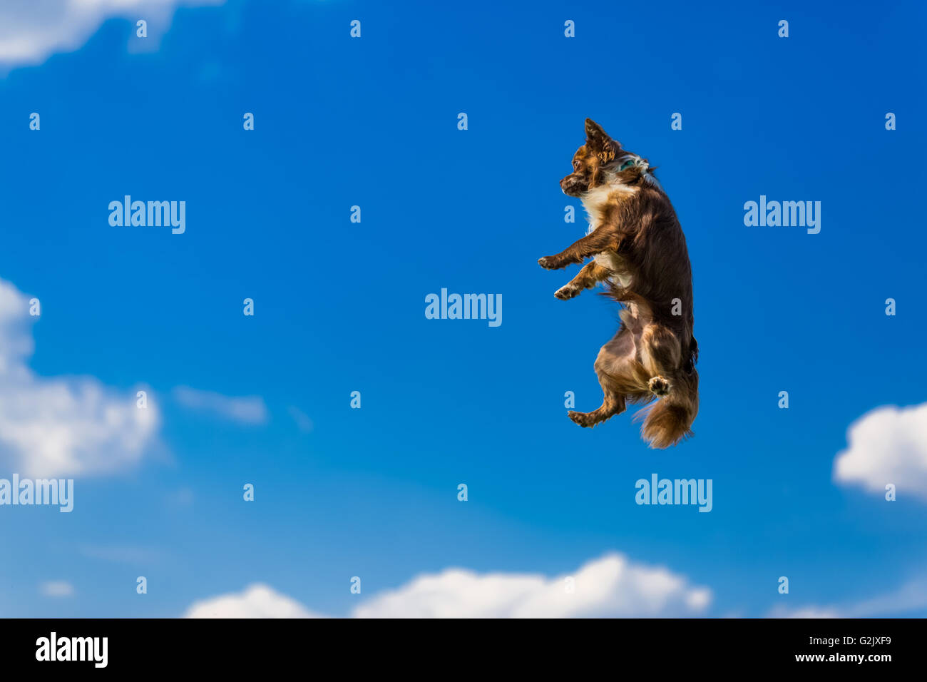 Chihuahua dog flying and jumping in the air - Stock Image