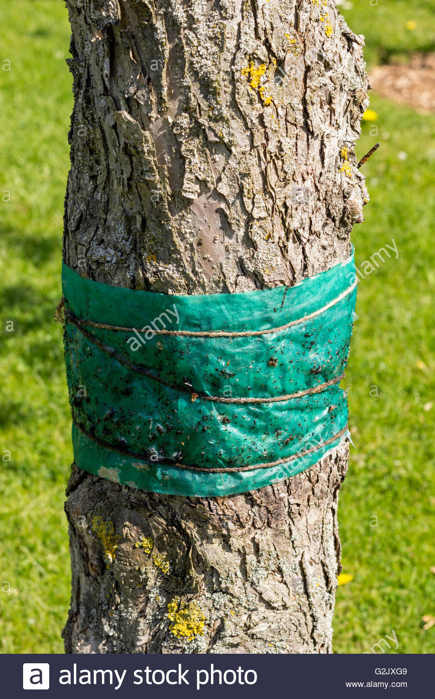 Grease band around a fruit tree to protect against the winter moth caterpillar - Stock Image