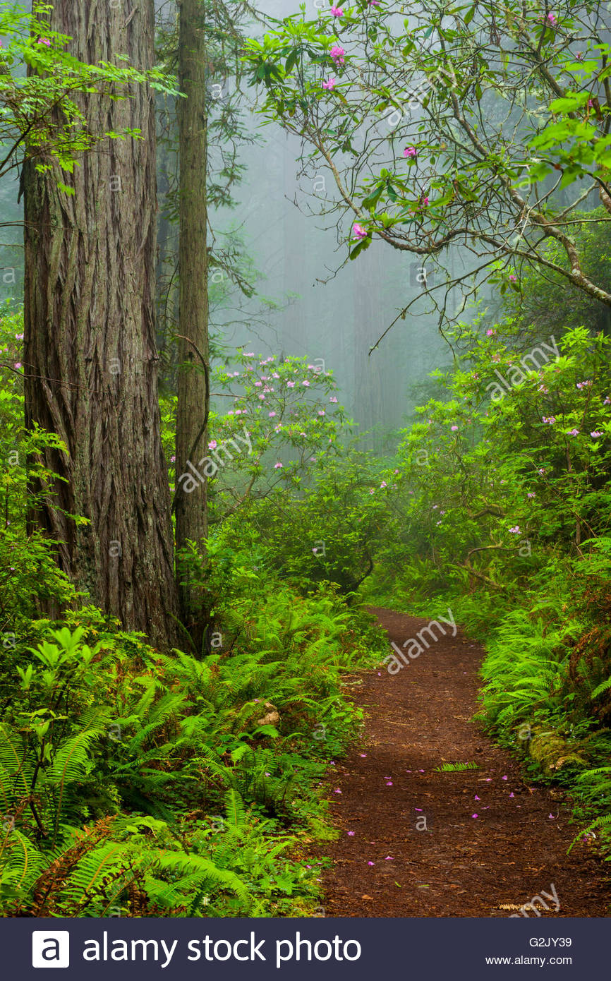 Redwoods and rhododendrons along the Damnation Creek Trail in Del Norte Coast Redwoods State Park California USA - Stock Image