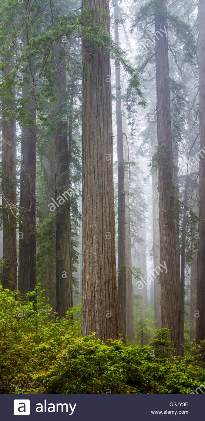 Redwoods along the Damnation Creek Trail in Del Norte Coast Redwoods State Park, California, USA , California, USA - Stock Image