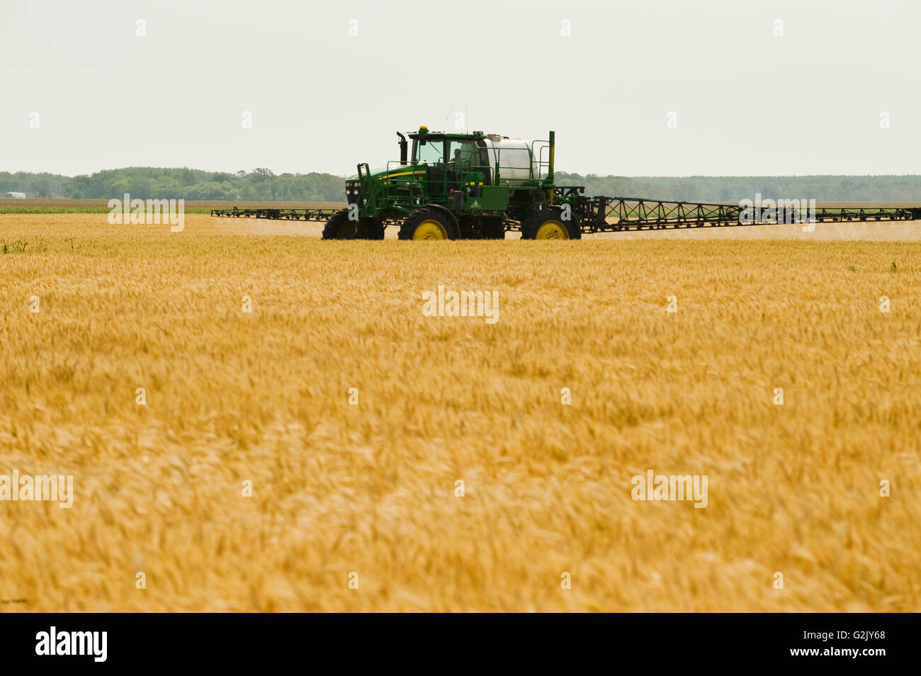 a high clearance sprayer gives a chemical application of herbicide to mature  winter wheat, near Carey, Manitoba, - Stock Image