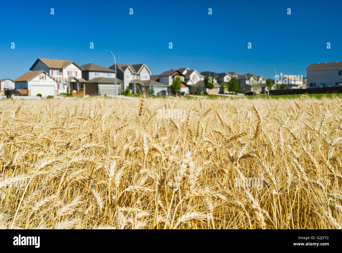 mature winter wheat field  next to urban sprawl,  Winnipeg , Manitoba, Canada - Stock Image