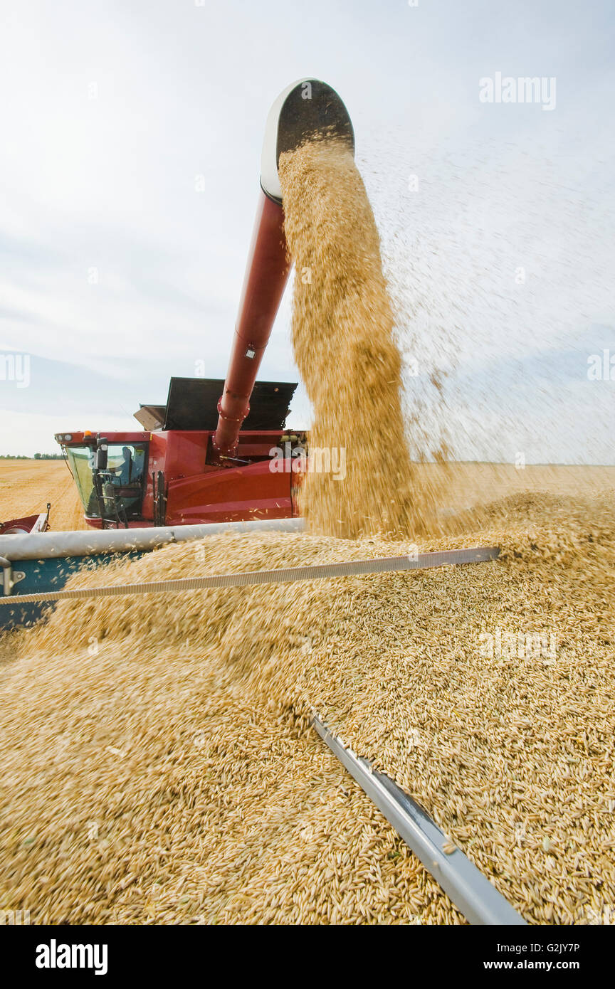 a combine augers oats into a farm truck during the harvest, near Dugald, Manitoba, Canada - Stock Image
