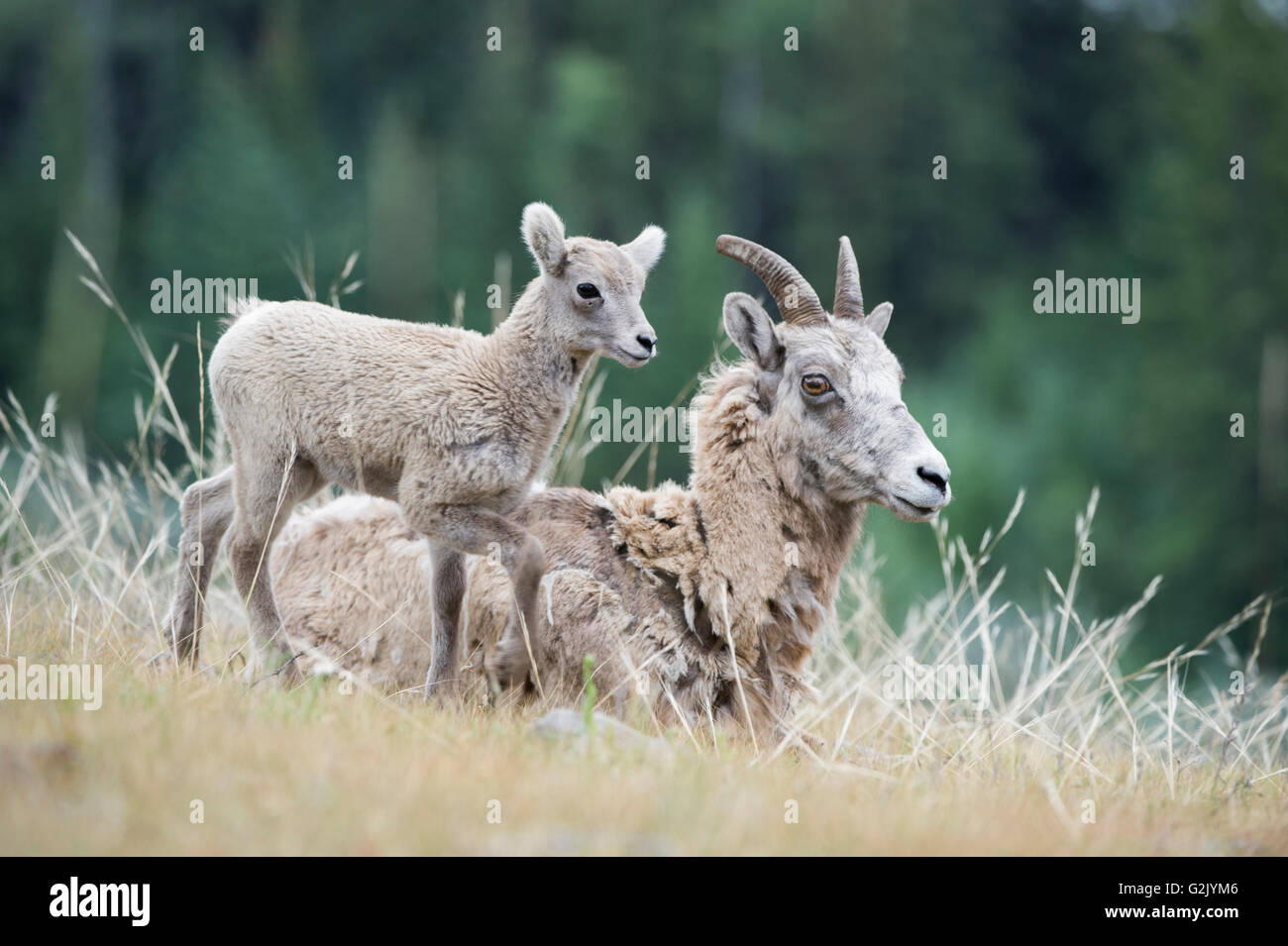Lamb, Ewe, Female, Bighorn Sheep, Ovis canadensis, Rocky Mountains, Alberta, Canada - Stock Image