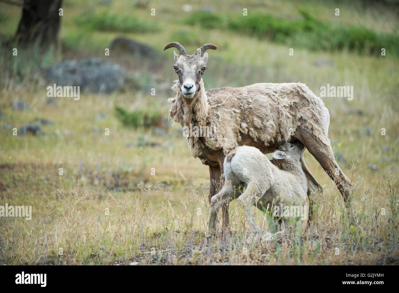 Female, Ewe, Lamb, Bighorn Sheep, Ovis canadensis, Rocky Mountains, Alberta, Canada - Stock Image
