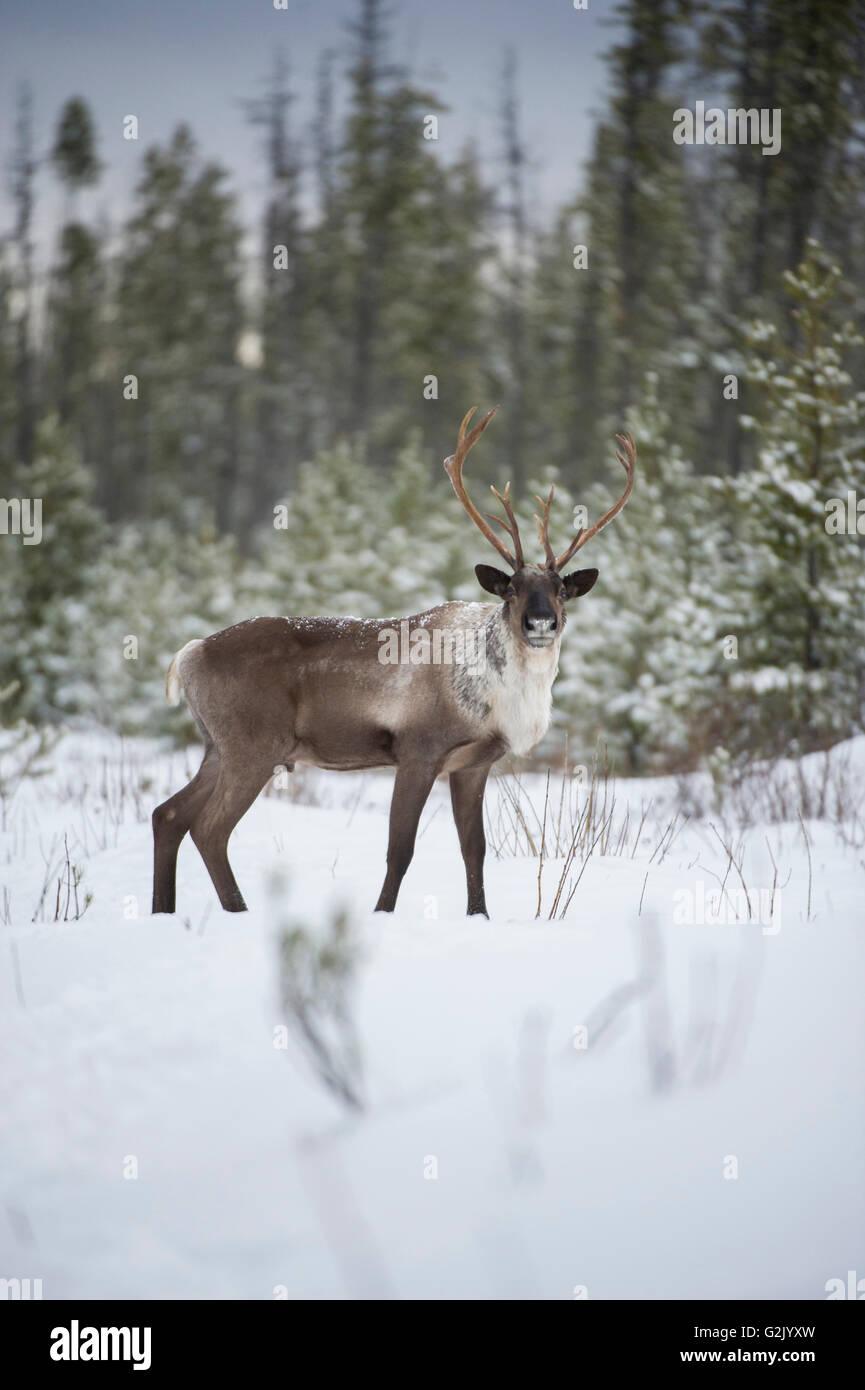 Rangifer tarandus caribou, Woodland Caribou, Boreal, British Columbia, Canada - Stock Image