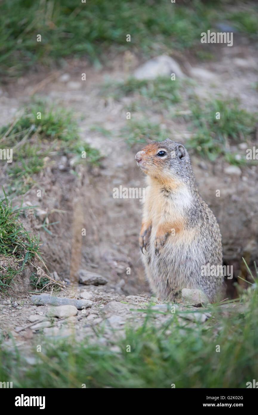 Urocitellus columbianus, columbian ground squirrel, Rocky Mountains, British Columbia, Canada Stock Photo