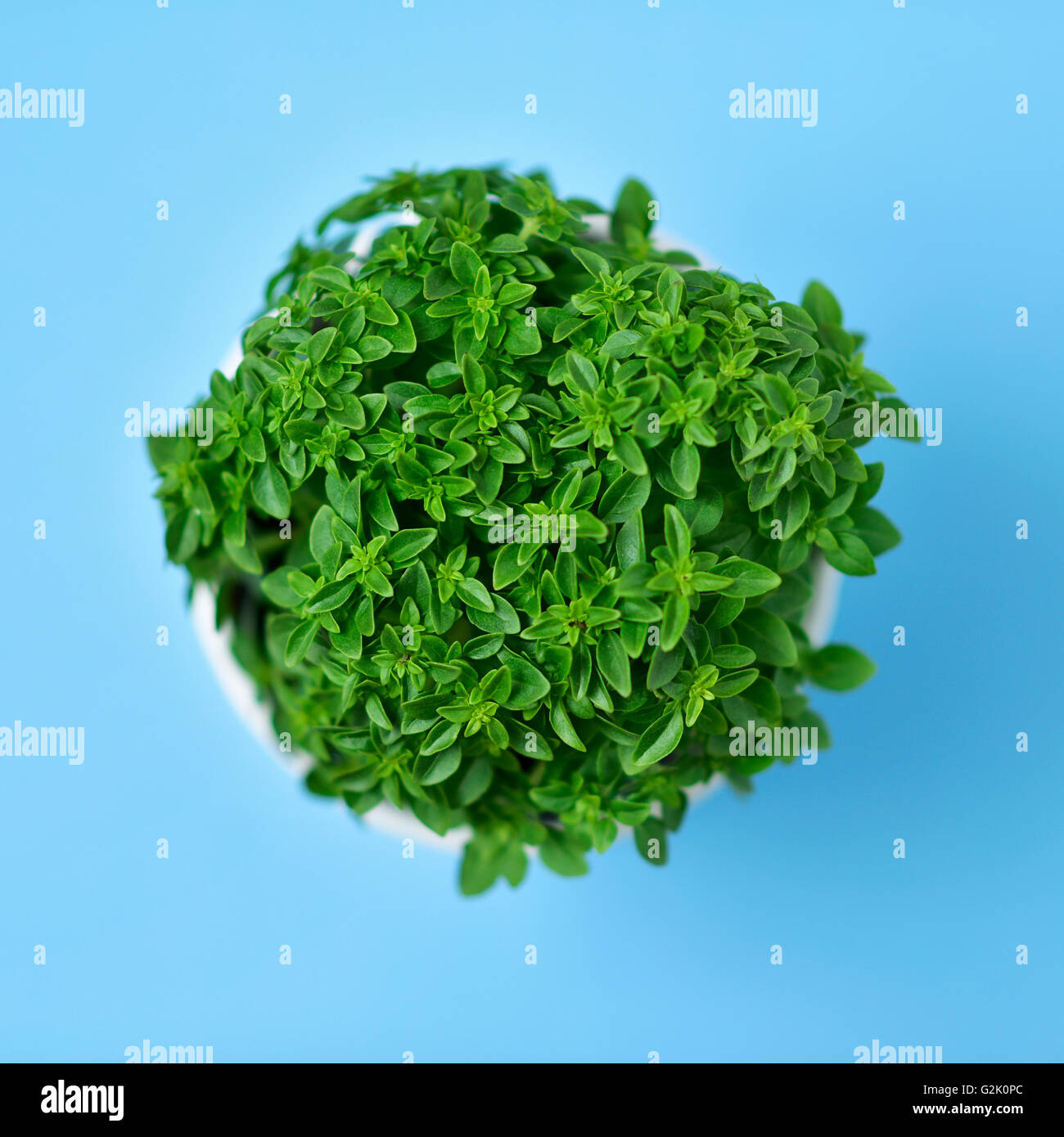 high-angle shot of a green bush basil plant in a white ceramic plant pot on a blue background - Stock Image