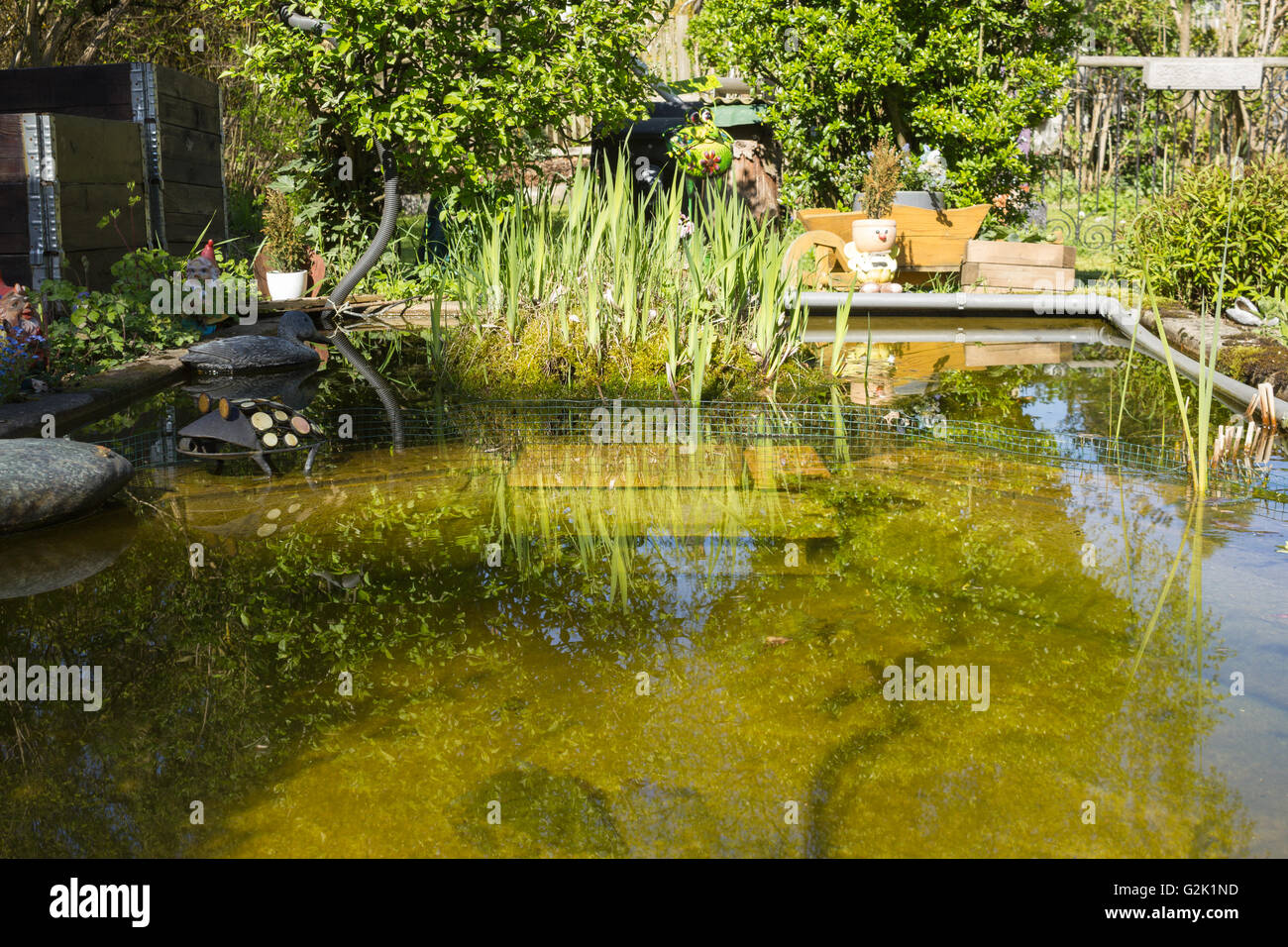 Natural garden with pond in summertime, European White Waterlily (Nymphaea alba), Purple Loosestrife (Lythrum salicaria) Stock Photo