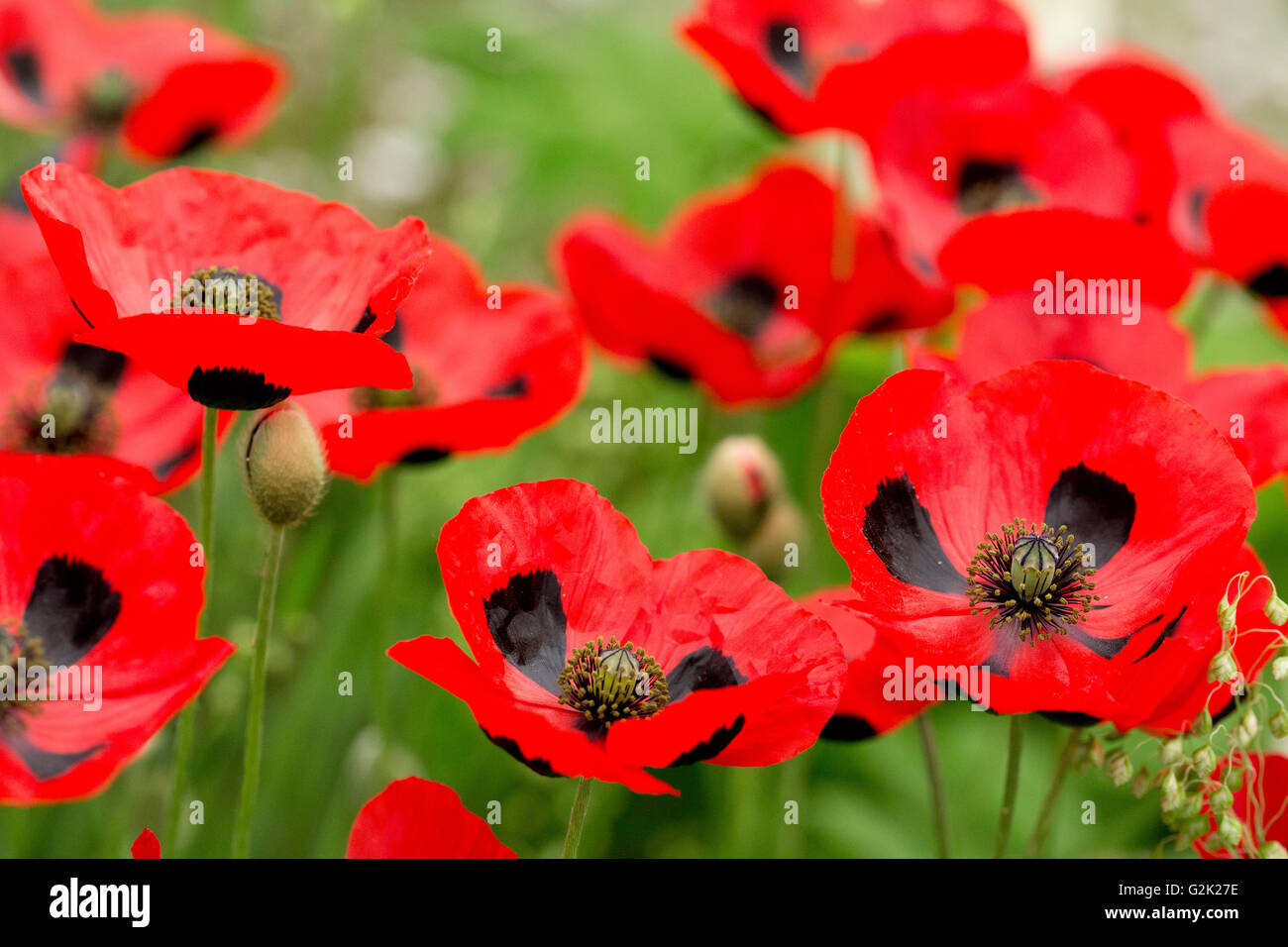 Ladybird Poppies at RHS Chelsea Flower Show 2016 - Stock Image