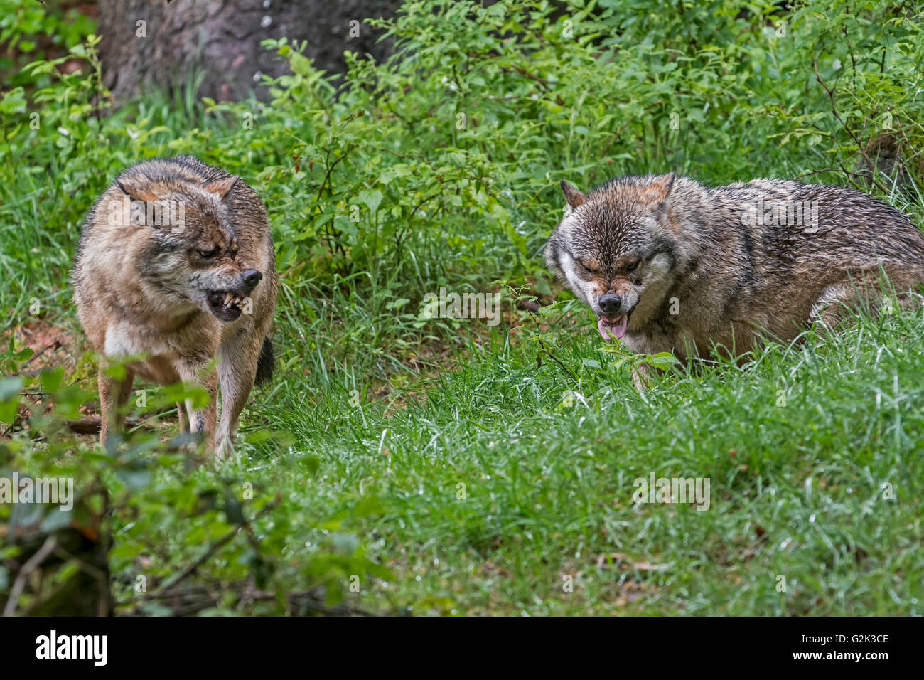 Two aggressive gray wolves / grey wolves (Canis lupus) snarling with bared canines and extended tongue - Stock Image