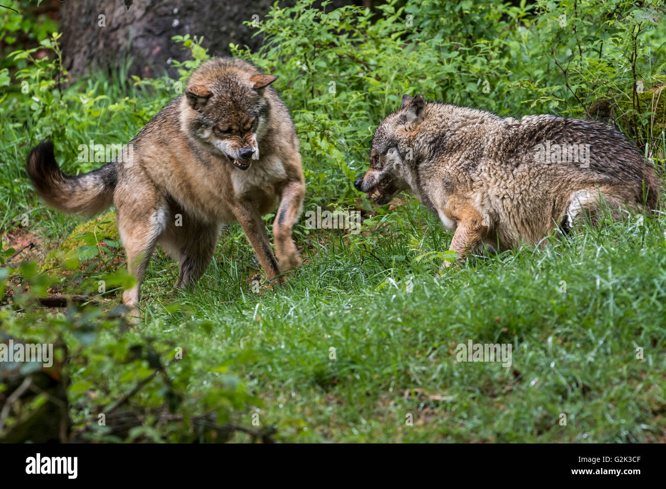 Two aggressive gray wolves / grey wolves (Canis lupus) fighting while snarling with bared canines for dominance - Stock Image