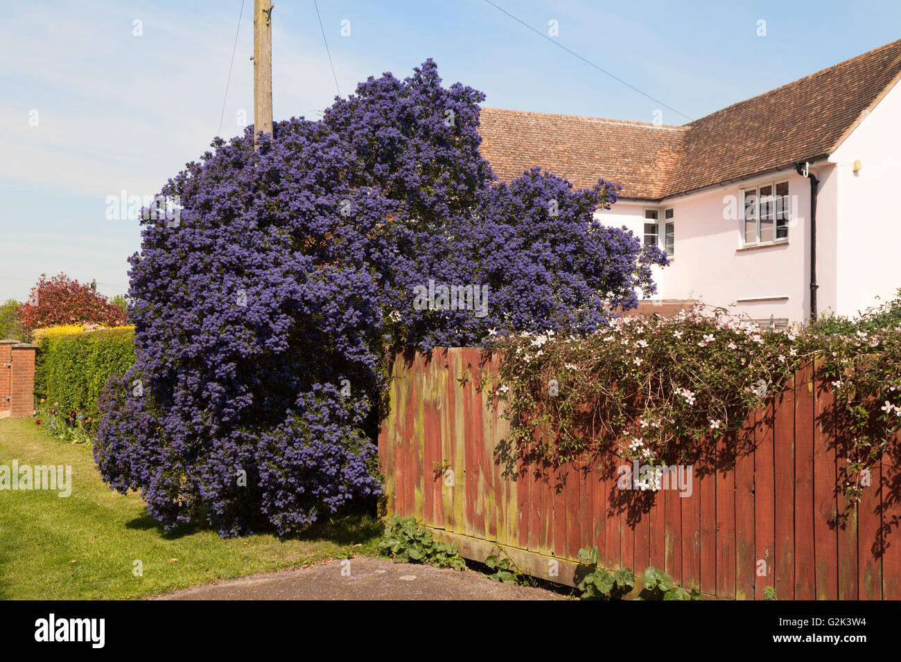 A large Ceanothus Concha or Californian Lilac shrub in full flower, in May, UK - Stock Image