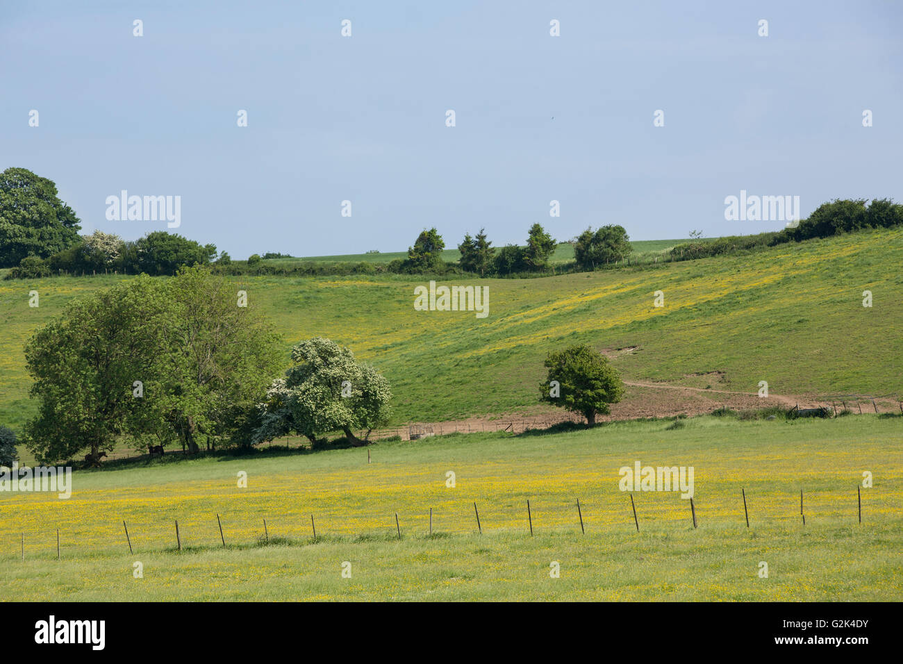 Small section of a hill in the South Downs. Yellow flower covered fields with hedgerow and wire fence and small - Stock Image