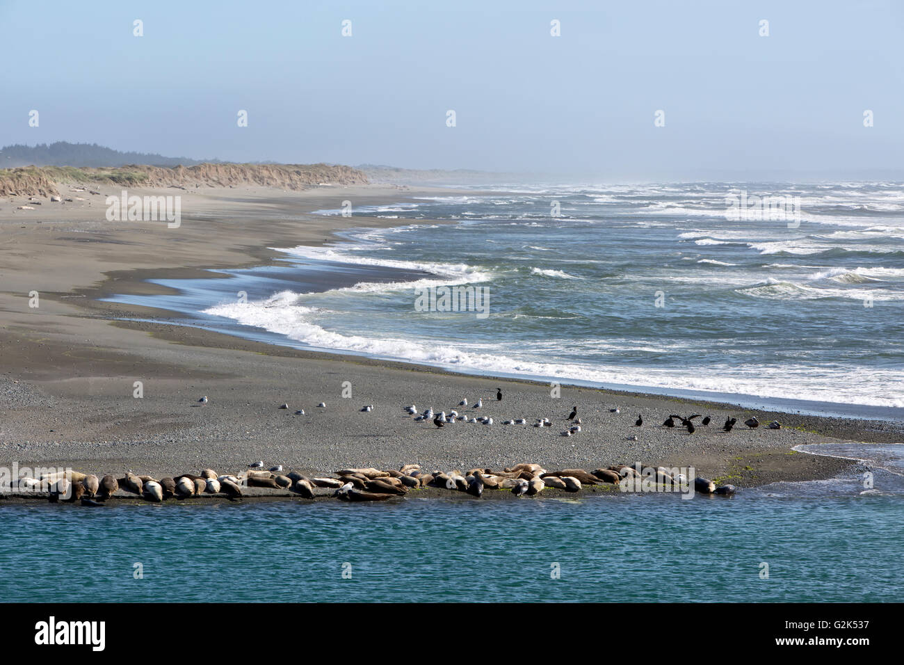 Mouth of the Smith River, Pacific ocean, harbor seals, sea lions, seagulls & double crested cormorants resting - Stock Image