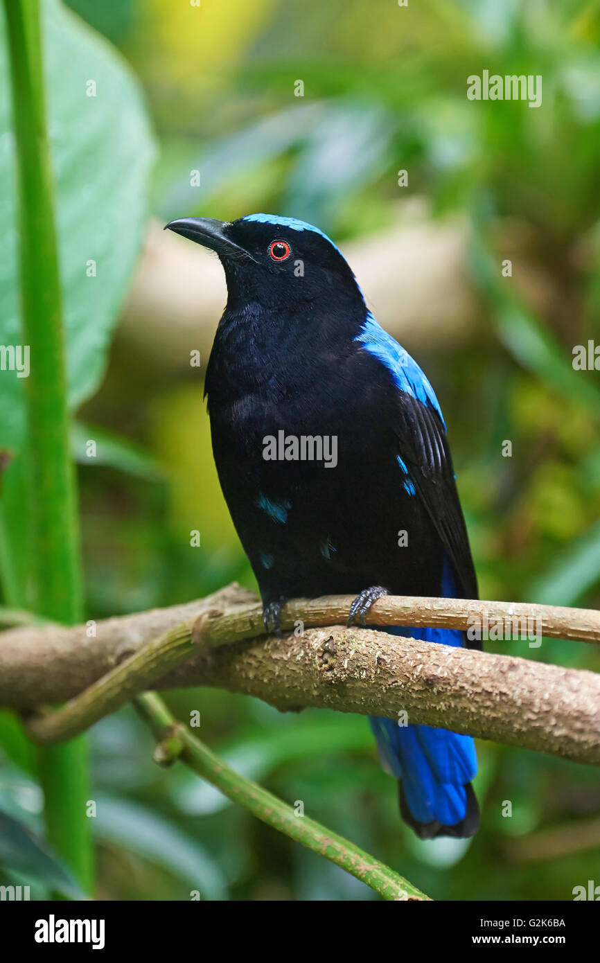 Asian fairy-bluebird sitting on a branch with vegetation in the background - Stock Image