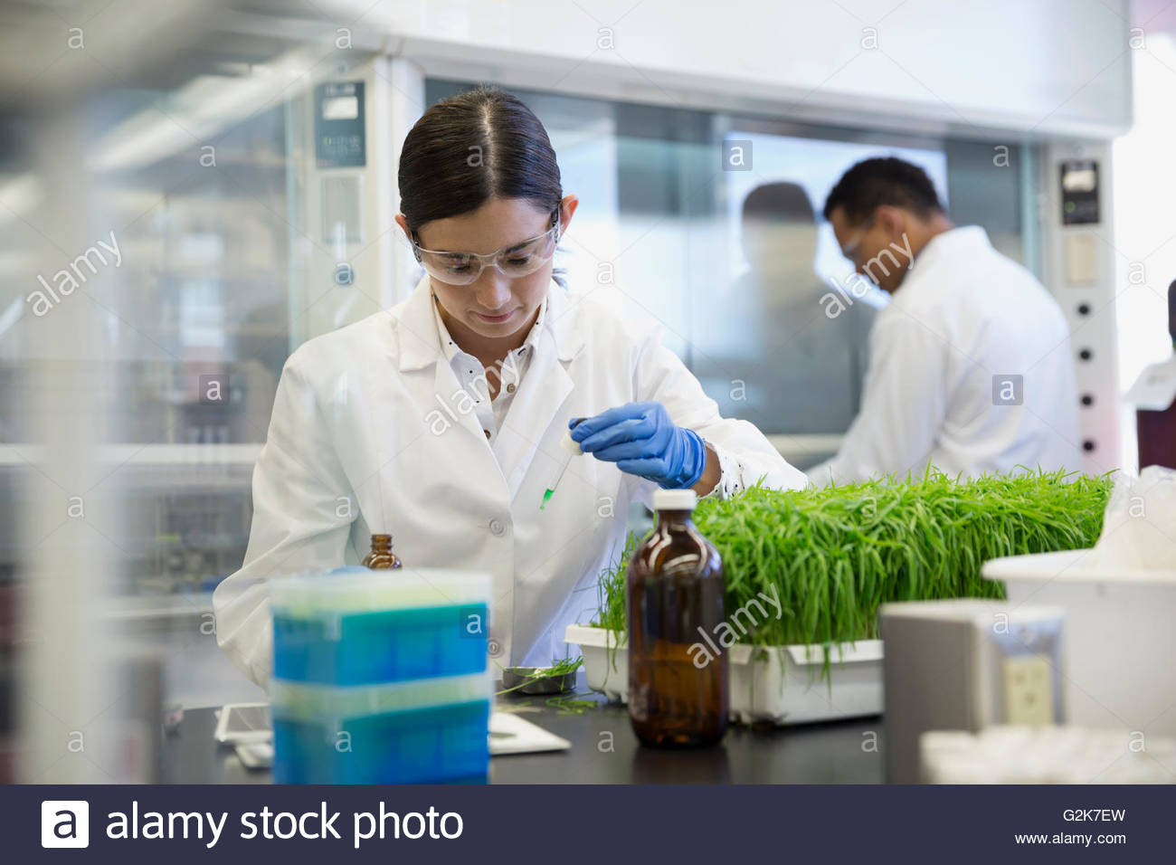 Scientist conducting GMO plant experiment in laboratory - Stock Image