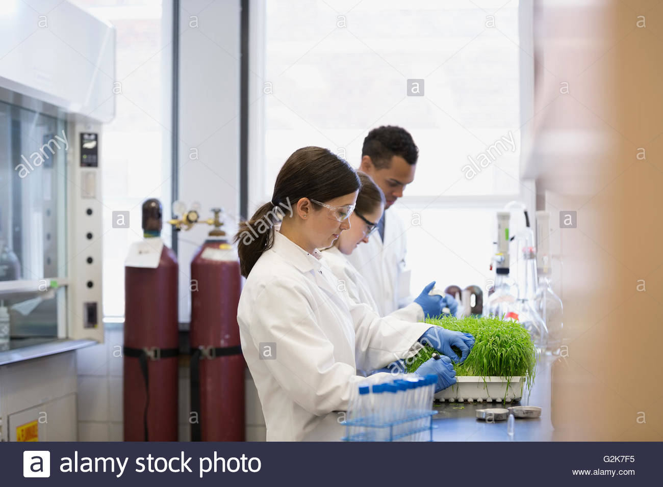 Scientists examining GMO plants in laboratory - Stock Image