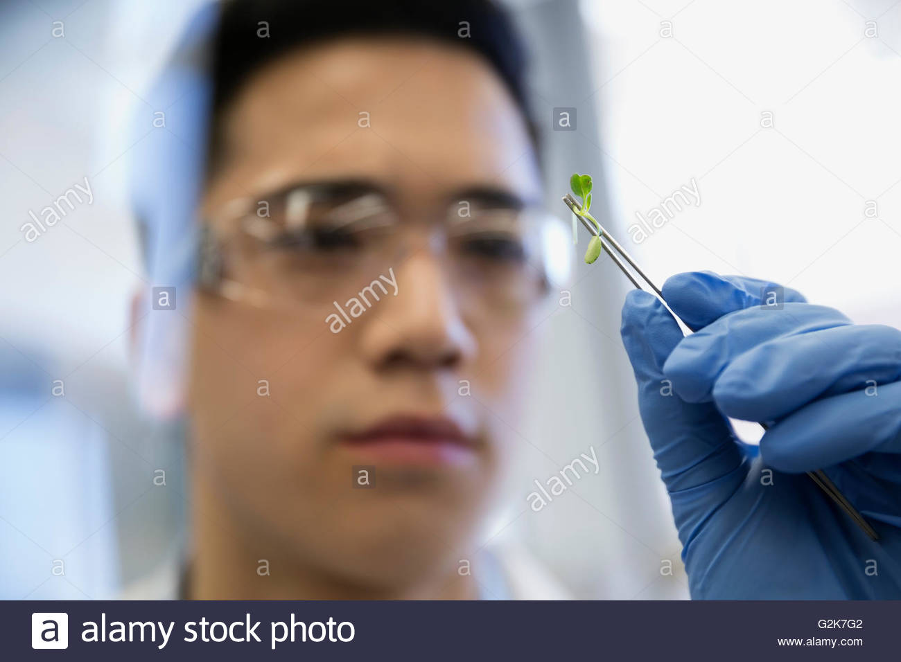 Close up scientist examining GMO sprout in laboratory - Stock Image