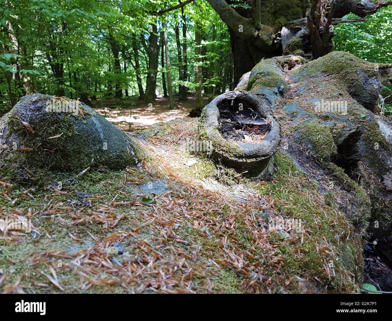 Urwald, Baumriesen, Totholz - Stock Image