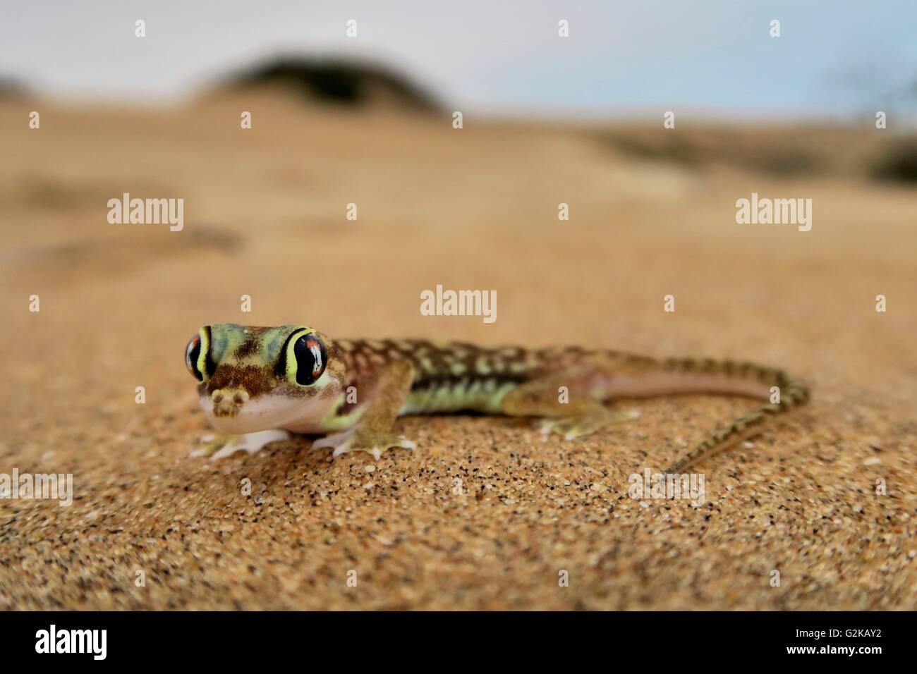 Namib gecko, namib sand gecko, web-footed gecko (Pachydactylus rangei), Namib Desert, Namibia Stock Photo