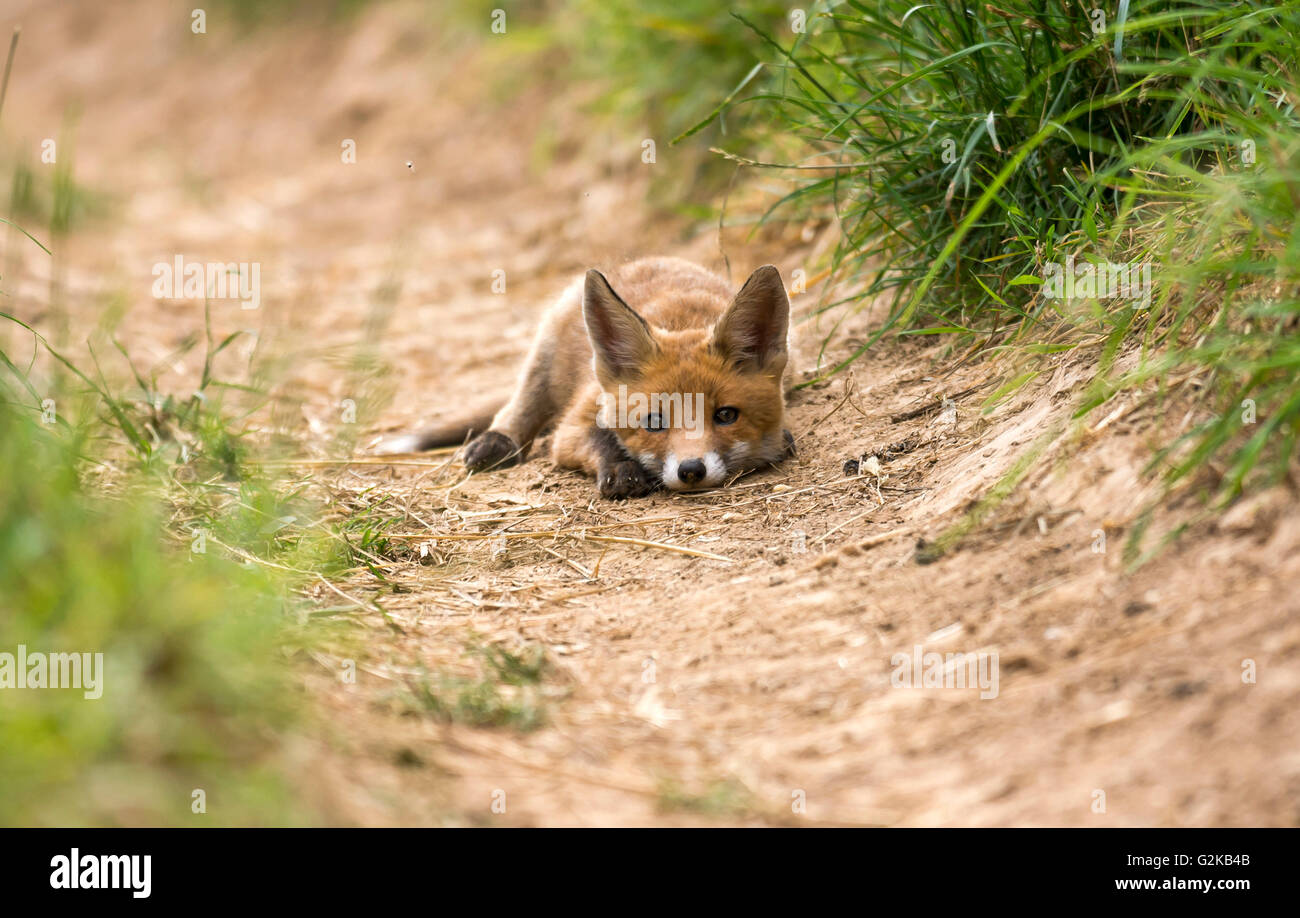 Red Fox (Vulpes vulpes), lying, Young Animal, Puppy, Baden-Württemberg, Germany - Stock Image