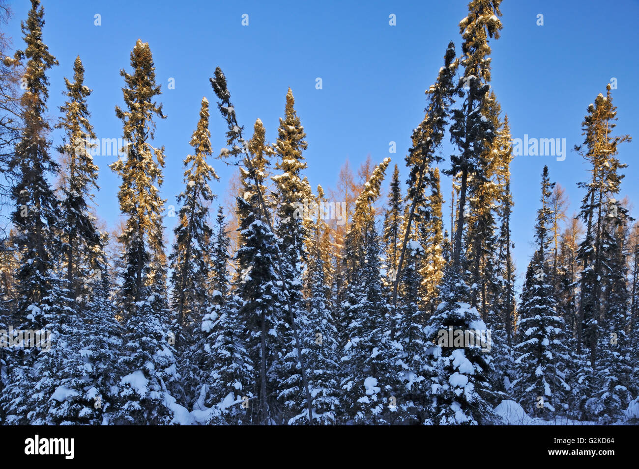 Black sruce trees (Picea mariana) in early monring light Ear Falls Ontario Canada - Stock Image