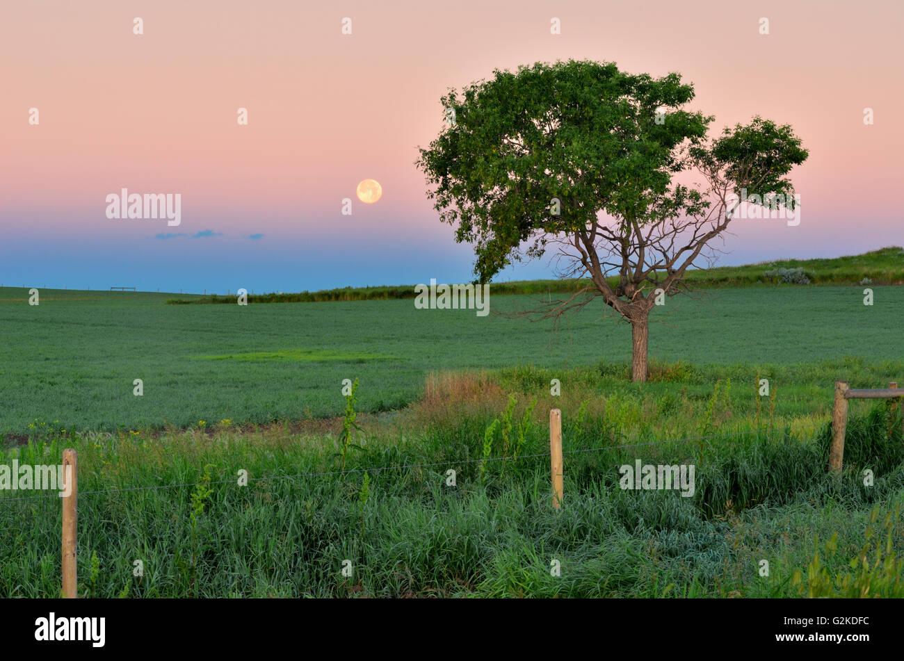 Moon setting on the prairie besides a tree at sunrise. West Block Grasslands National Park Saskatchewan Canada - Stock Image
