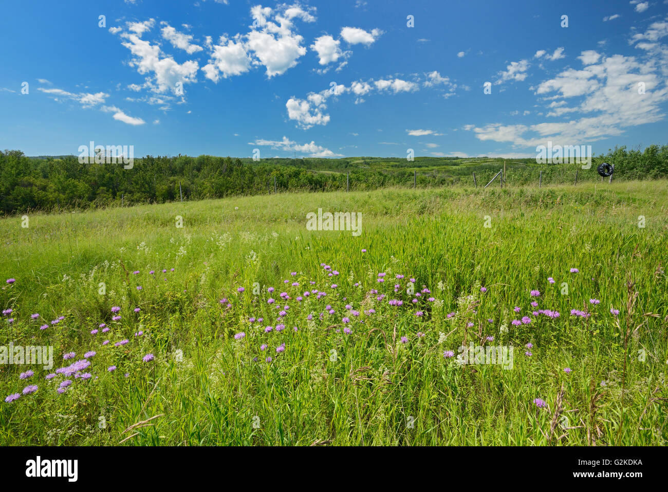 Wild bergamot or bee balm (Monarda fistulosa) flowers on the prairie of the Saskatoon Trail  Near Battleford Saskatchewan Stock Photo