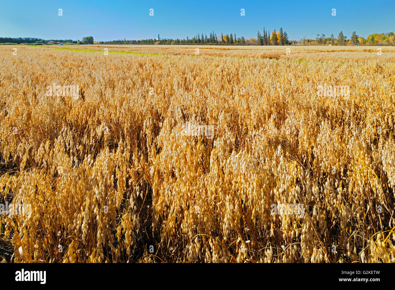 Oats. Field trial plot.  Agriculture Canada Research Station Indian Head Saskatchewan Canada - Stock Image