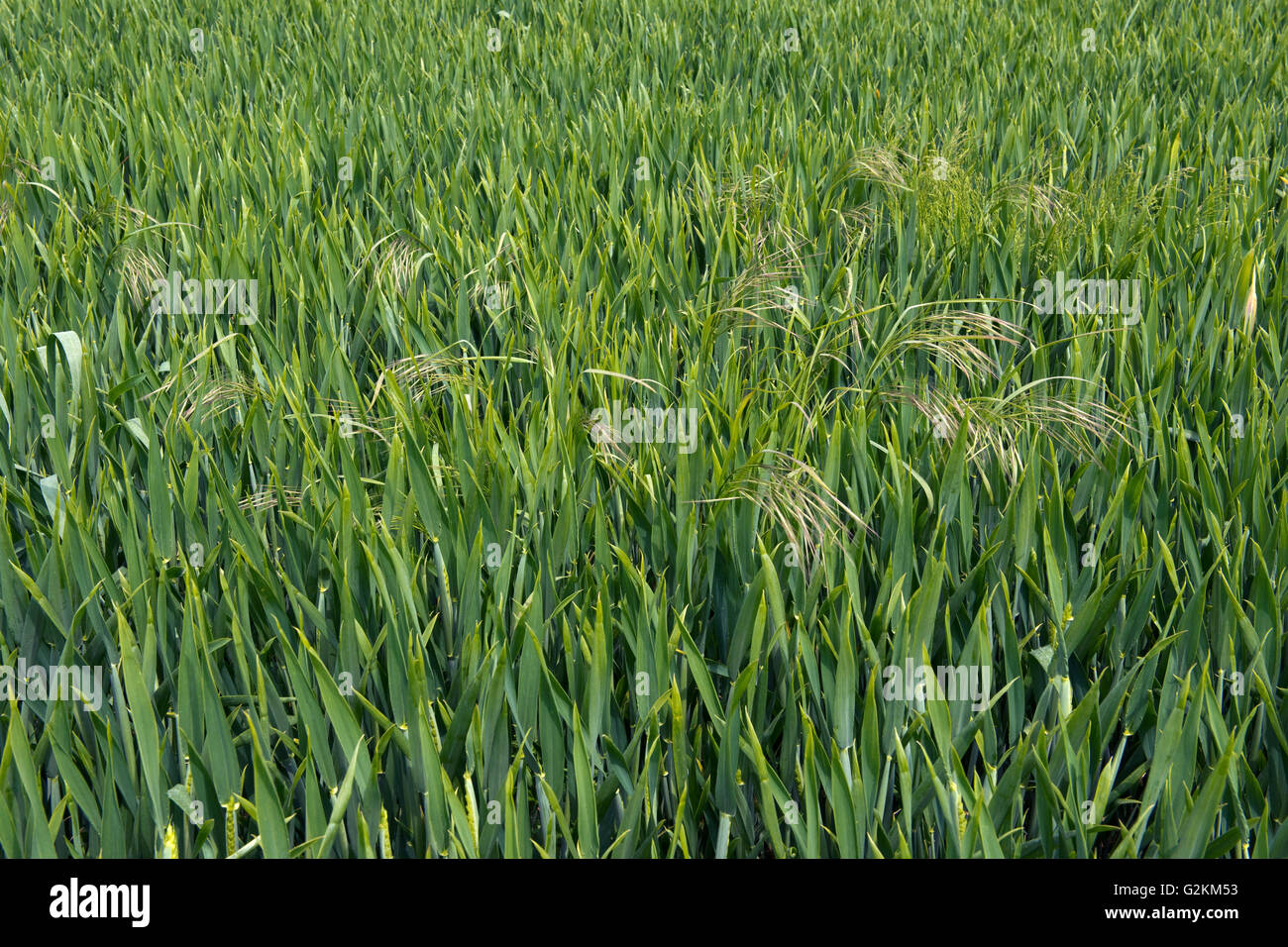 Sterile or barren brome, Bromus sterilis, flower spikes of  grass weeds in a winter wheat crop, May - Stock Image