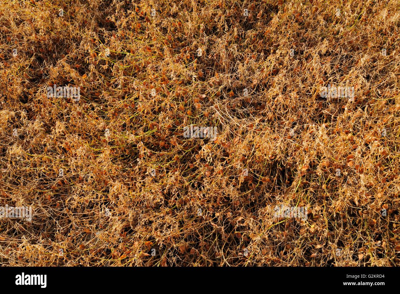 Lentils Morse Saskatchewan Canada - Stock Image